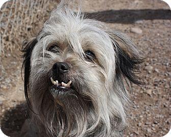 Shih Tzu Mix Dog for adoption in Lyons, New York - Shelley