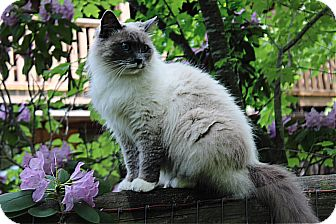 Himalayan Cat for adoption in Cookeville, Tennessee - Kay Kay