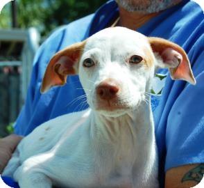 Hound (Unknown Type) Mix Puppy for adoption in Bradenton, Florida - Rose