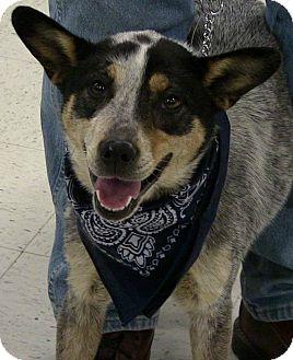 Australian Cattle Dog Dog for adoption in Texico, Illinois - Jemma