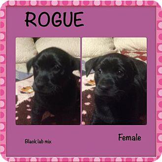 Labrador Retriever/Labrador Retriever Mix Puppy for adoption in Von Ormy, Texas - Rogue