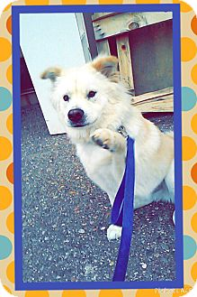 Samoyed Mix Dog for adoption in Apache Junction, Arizona - Mister