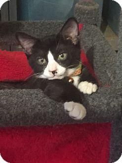 Domestic Shorthair Kitten for adoption in Manhattan, Kansas - Mittens