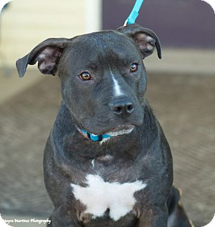 Staffordshire Bull Terrier Mix Dog for adoption in Norwich, Connecticut - Blue
