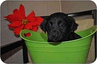 Cocker Spaniel Mix Puppy for adoption in Sandersville, Georgia - Ava