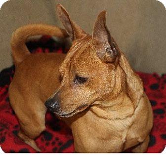 Miniature Pinscher Mix Puppy for adoption in Avon, New York - Bruno
