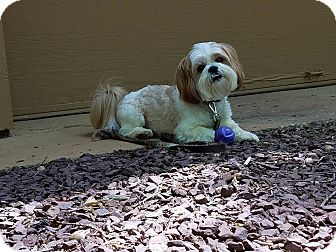 Shih Tzu Mix Dog for adoption in Norwalk, Connecticut - Cody - more info coming