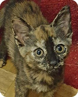 Domestic Shorthair Kitten for adoption in Monroe, North Carolina - Autumn