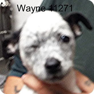 Border Terrier/Australian Cattle Dog Mix Puppy for adoption in Greencastle, North Carolina - Wayne