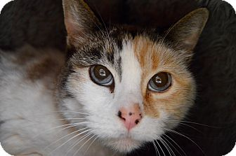 Domestic Shorthair Cat for adoption in Buena Vista, Colorado - Topanga