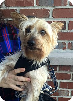 Silky Terrier Mix Dog for adoption in Mount Pleasant, South Carolina - Monte Carlo