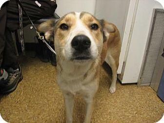 Collie/Sheltie, Shetland Sheepdog Mix Dog for adoption in Kankakee, Illinois - Seminole