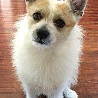 Terrier (Unknown Type, Medium)/Chihuahua Mix Dog for adoption in Lakewood, California - SIMON