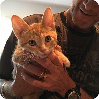 Domestic Shorthair Kitten for adoption in Palm Springs, California - johnny