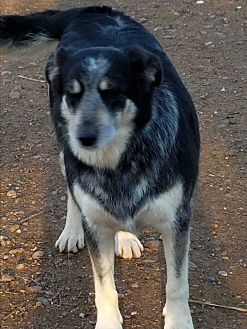 Cattle Dog/Border Collie Mix Dog for adoption in Red Bluff, California - Granny
