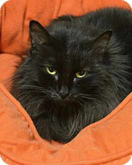Domestic Longhair Cat for adoption in Springfield, Illinois - Nia