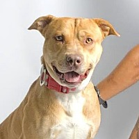 American Staffordshire Terrier Mix Dog for adoption in Santa Paula, California - Cane