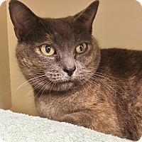 Domestic Shorthair Cat for adoption in Salisbury, Massachusetts - Amanita