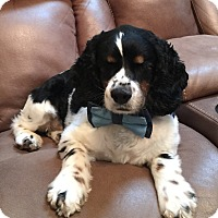 Cocker Spaniel Dog for adoption in Seymour, Connecticut - Laney: pending!