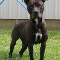 American Pit Bull Terrier Mix Dog for adoption in Owensboro, Kentucky - Mimzy** (-)
