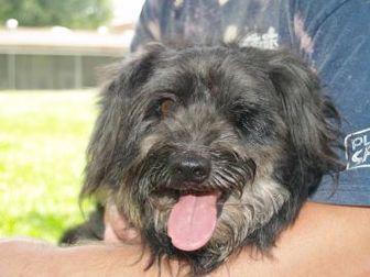 Lhasa Apso Mix Dog for adoption in Covington, Louisiana - Willie