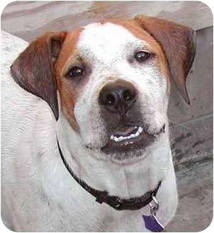 Pointer/Boxer Mix Puppy for adoption in El Segundo, California - Milo