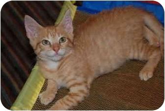 Domestic Shorthair Kitten for adoption in Putnam Hall, Florida - Captain Crunch