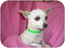 Chihuahua Mix Dog for adoption in Albuquerque, New Mexico - Blanca-----xs