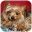 Photo 2 - Yorkie, Yorkshire Terrier Dog for adoption in Statewide and National, Texas - Winston-TX