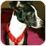Photo 3 - Boston Terrier Mix Dog for adoption in North Augusta, South Carolina - PIXIE