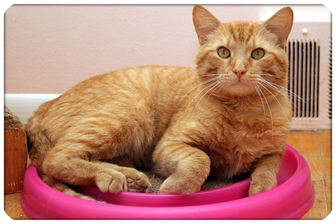 Domestic Shorthair Cat for adoption in Sterling Heights, Michigan - Indy - ADOPTED!