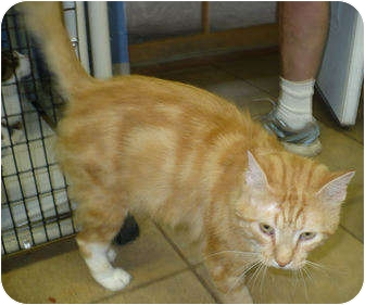 Domestic Mediumhair Cat for adoption in Colmar, Pennsylvania - Taurus