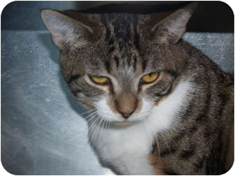 Domestic Shorthair Cat for adoption in El Cajon, California - Andy