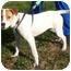 Photo 1 - Beagle/Hound (Unknown Type) Mix Puppy for adoption in Bardonia, New York - Charlotte