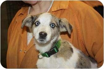 Australian Shepherd Mix Puppy for adoption in Hainesville, Illinois - Abby
