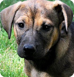 Shepherd (Unknown Type) Mix Puppy for adoption in Wakefield, Rhode Island - BRIANNA(ADORES CHILDREN!!)