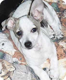 Chihuahua/Dachshund Mix Puppy for adoption in Chandler, Arizona - Mesquite