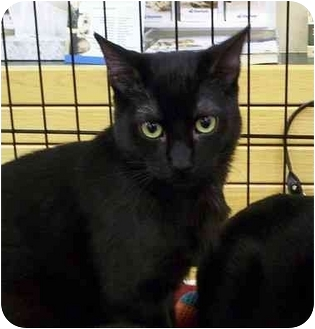 Domestic Mediumhair Kitten for adoption in Folsom, California - Arnie