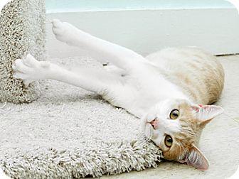 Domestic Shorthair Cat for adoption in Bradenton, Florida - Clint