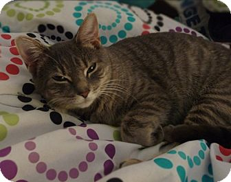 Domestic Shorthair Cat for adoption in Richmond, Virginia - Willow