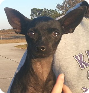 Chihuahua Dog for adoption in Orlando, Florida - Shirley (Nipsey)