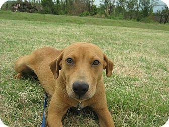 Redbone Coonhound/Mastiff Mix Dog for adoption in Shawnee, Oklahoma - Zeke