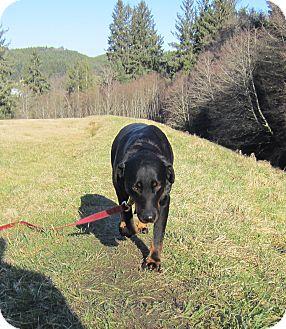Rottweiler/Doberman Pinscher Mix Dog for adoption in Tillamook, Oregon - Kirby
