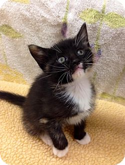 Calico Kitten for adoption in Charlotte, North Carolina - A.. Sybil