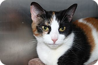 Domestic Shorthair Cat for adoption in North Branford, Connecticut - Daphne