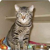 Adopt A Pet :: Little Spock - Mesa, AZ