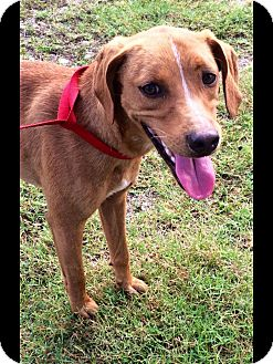Black Mouth Cur/Redtick Coonhound Mix Dog for adoption in Pollok, Texas - River