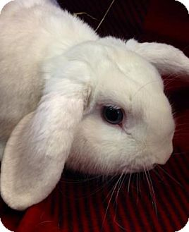 Mini Lop Mix for adoption in Lowell, Massachusetts - Dash