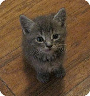Domestic Mediumhair Kitten for adoption in Tampa, Florida - Aston Martin