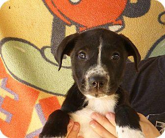 Border Collie/Labrador Retriever Mix Puppy for adoption in Oviedo, Florida - Ginger